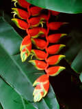 Dominica, Papillote Wilderness Retreat, Close-Up of Heliconia Photographic Print