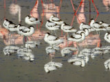 Reflection of Avocets and Flamingos in Water, Ngorongoro Crater, Ngorongoro Conservation Area Photographic Print