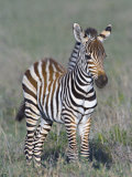 Young Zebra Standing in a Field, Ngorongoro Conservation Area, Arusha Region Photographic Print