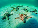 Sea Stars (Protoreaster Nodosus) Photographic Print by Andrea Ferrari