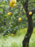 Lemons Growing on a Tree, Sorrento, Naples, Campania, Italy Photographic Print