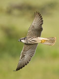 Close-up of a Lanner Falcon Flying, Lake Manyara, Arusha Region, Tanzania Photographic Print