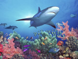 Low Angle View of a Shark Swimming Underwater, Indo-Pacific Ocean Stampa fotografica