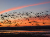 Silhouetted Snow Geese in Flight Photographic Print