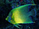 Crescent Angel Fish (Pomacanthus) Reprodukcja zdjęcia autor Andrea Ferrari