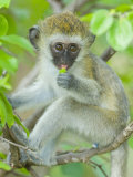 Vervet Monkey Sitting on a Branch, Tarangire National Park, Arusha Region Photographic Print