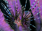 Pterois Volitans Fish Fotografisk tryk af Andrea Ferrari