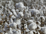 Close-up of Cotton Plants in a Field, Wellington, Texas, USA Photographic Print