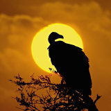Silhouette of a Vulture Perching on a Branch, Masai Mara National Reserve, Kenya Photographic Print