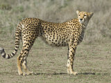 Side Profile of a Cheetah, Ngorongoro Conservation Area, Arusha Region, Tanzania Photographic Print