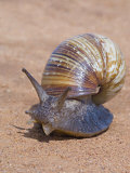 Close-up of a Giant African Land Snail, Tarangire National Park, Arusha Region Photographic Print