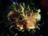 Bridled Burrfish (Chilomycterus Antennatus) Photographic Print by Andrea Ferrari