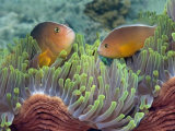 Two Skunk Anemone Fish and Indian Bulb Anemone Photographie