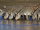 Herd of Zebras Drinking Water, Ngorongoro Conservation Area, Arusha Region Photographic Print