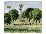 California Orange Grove, 1890s Giclee Print