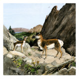 Extinct Species of Pronghorn, Protoceras, Ancient South Dakota Black Hills Giclee Print