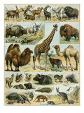 Mammals of Arid Regions Giclee Print