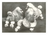 Three Trimmed Miniature Poodles Posters