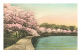Cherry Blossoms by Tidal Basin Photo