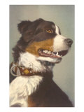 Bernese Dog with Collar Posters
