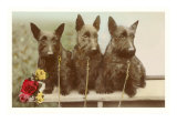 Three Scottie Dogs on Leashes Posters