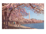 Cherry Blossoms and Washington Monument, Washington, D.C. Posters