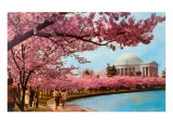Tidal Basin, Jefferson Memorial, Cherry Blossoms, Washington, D.C. Print
