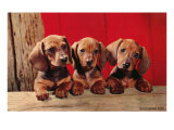 Three Dachshund Puppies Premium Giclee Print