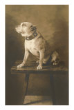 Pit Bull on Table with Collar Posters