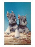 Two Schnauzer Puppies Print