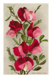 Red Sweet Peas Pósters
