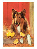 Collie with Chicks Print