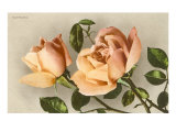 Safrano Roses Posters