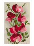 Red Sweet Peas Posters