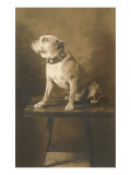 Pit Bull on Table with Collar Poster