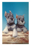 Two Schnauzer Puppies Posters