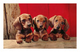 Three Dachshund Puppies Print