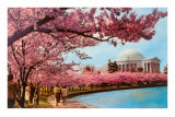 Tidal Basin, Jefferson Memorial, Cherry Blossoms, Washington, D.C. Posters