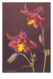 Columbine Photo