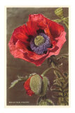 Bracted Poppy Posters