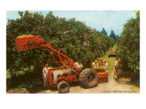 Citrus Harvest in Florida Poster