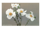 Matilija Poppies Posters