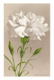 White Carnation Print