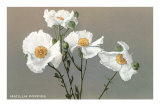 Matilija Poppies Poster