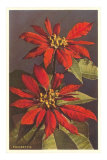 Poinsettias Prints