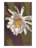 White Epiphyllum Posters