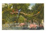 Macaws, Flamingos, Cockatoo, Florida Print