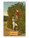 Ladies Picking Oranges, Florida Posters