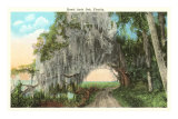 Royal Arch Oak, Florida Posters