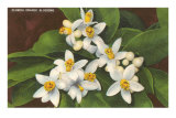 Florida Orange Blossoms Posters